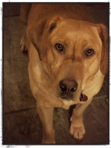 Ginger the Lab